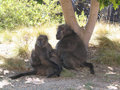 Free A Family Of Primates Under A Tree Stock Images - 1070594