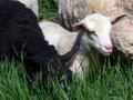 Free Lambs Royalty Free Stock Photos - 1169678