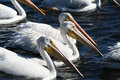 Free Pelican March Stock Images - 1290434