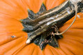 Free Pumpkin Stem Stock Photo - 1316440