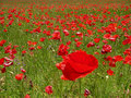 Free The Field Poppy Stock Images - 1316994