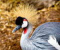 Free East African Crane Royalty Free Stock Photos - 1317478