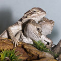 Free Bearded Dragons Stock Images - 13555544