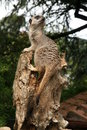 Free Meerkat Stock Photo - 1362960