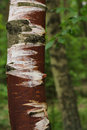 Free Injured Birch Stock Images - 1387614