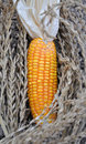 Free Corn Stock Photos - 13909383