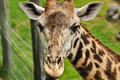 Free Giraffe (Giraffa Camelopardalis) Close Up Royalty Free Stock Image - 14215486