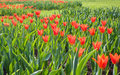 Free Red Tulips Royalty Free Stock Photography - 14290547