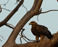 Free Tawny Eagle With Prey Royalty Free Stock Photography - 14688437