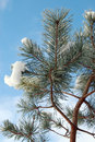 Free Pine Branch Covered With Snow Royalty Free Stock Photography - 1486927