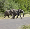 Free Elephants In The African Bush Royalty Free Stock Photography - 14989517