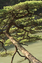Free Pine Branch Royalty Free Stock Image - 1519926