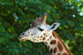 Free Giraffe Close-up Stock Photo - 15158800