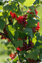 Free Red Currant Royalty Free Stock Photography - 15200967