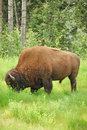 Free Bison (Buffalo) Royalty Free Stock Photo - 15247295