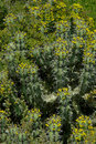 Free Cactus Plant Covered With Many Little Flowers. Stock Images - 15801344