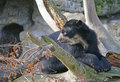 Free Spectacled Bear 6 Stock Photo - 1632090