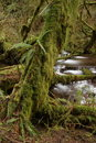 Free Munson Creek Rainforest Royalty Free Stock Photos - 1655008