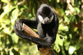 Free Monkey On A Branch Stock Image - 1663931