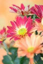 Free Chrysanthemum Royalty Free Stock Photos - 17336188