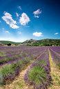 Free Lavender Stock Photography - 17357352