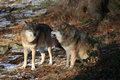 Free Wolves In Bavarian Forest Royalty Free Stock Image - 17725866