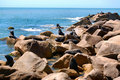 Free Large Fur Seal Colony Royalty Free Stock Photo - 1889655