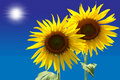 Free Two Sunflowers Royalty Free Stock Photography - 19207937