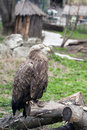 Free Eagle At The Zoo Royalty Free Stock Photography - 19413197