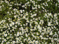 Free Camomile Background Stock Photography - 19551312