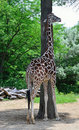 Free Tall Giraffe And Tall Tree Stock Photography - 19888832