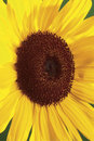 Free Macro On Sunflower Stock Photo - 1997550