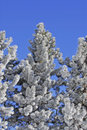 Free Frost Covered Pine Tree Royalty Free Stock Photos - 2023008