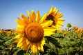 Free Sunflower Royalty Free Stock Image - 20287956