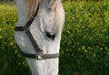 Free Gray Horse With Sad Eyes Royalty Free Stock Image - 2070066