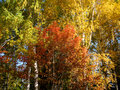 Free Autumn Trees And Blue Sky Royalty Free Stock Images - 20881269