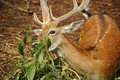 Free Close-up Shot Of The Deer Royalty Free Stock Photography - 2091127