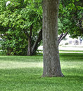 Free Stately Trunk Of A Cottonwood Tree Royalty Free Stock Photography - 20926617