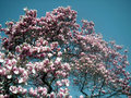 Free Dynamic Magnolia Tree Stock Images - 2140044