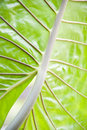 Free Leaf Veins Royalty Free Stock Image - 2186086