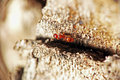 Free Red Ant On A Tree Bark Royalty Free Stock Images - 2211609