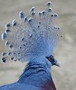 Free Victoria Crowned Pigeon 3 Royalty Free Stock Image - 2239306