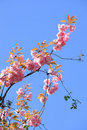 Free Pink Blossom In Spring Royalty Free Stock Image - 22488346