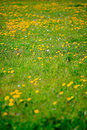 Free Dandelions In Spring Royalty Free Stock Photo - 22488375