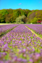 Free Field Of Purple Hyacinths In Spring Royalty Free Stock Photography - 22488437