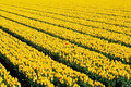 Free Yellow Tulips With One Red Royalty Free Stock Photos - 22488518