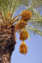 Free Date Palm With Ripe Fruit Stock Images - 22497284