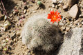 Free Blooming Cactus Royalty Free Stock Images - 2272539