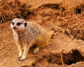 Free Meerkat Royalty Free Stock Photo - 2291005
