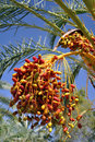 Free Date Palm Stock Image - 23030591
